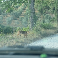 fox in the road near La Casa