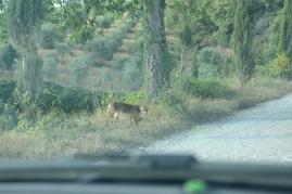 fox in the road near La Casa